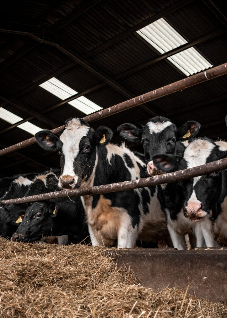 cows eating hay in a barn